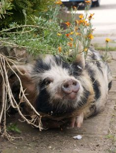 Greedy Little Pig on the Farm gone to the Farmer's House to ask for some more Food