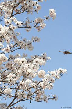 Ipê-branco (Tabebuia roseo alba) e Sabiá-do-campo