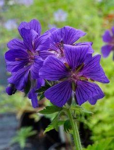 Geranium x magnificum flowers for 3 months