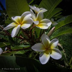 Frangipani Flowers by Dave Beal on Capture Southwest Washington // One of my favorite flowers! Washington, Thankful, My Favorite Things, Flowers, Plants, Photography, Photograph, Fotografie, Photoshoot