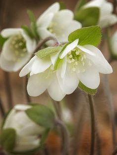 Round-lobed Hepatica Hepatica nobilis var. obtusa (Hepatica americana, Anemone americana) Ottawa County, MI