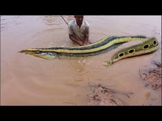 How to catch fish macrognathus in Cambodia - Traditional catch fish macr...