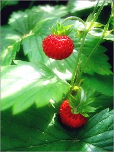 Wild strawberries!!! On a summer walk, you can smell their warm fragrance before you see them.