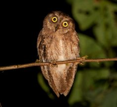 Moluccan Scops Owl (Otus magicus). Photo by Chris Barnes.