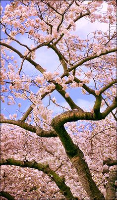Cherry blossom, Seattle, Washington