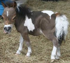 Mini Me is a minimal dwarf horse that is 22.25 inches tall with a BIG heart.