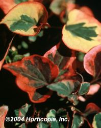 Chameleon Plant  Mature Spread  4 feet  Soil Type  Widely Adaptable  Moisture  Wet  Growth Rate  Fast  Sun Exposure  Full Shade  Flower Color  Green, Red, Yellow  Fall Color  Variegated  Foliage Color  Green, Red, Yellow  Zones  5-9  From Nature Hills Nursery