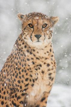 Cheetah--Snowy Portrait by Johannes Wapelhorst on I Love Cats, Big Cats, Beautiful Cats, Animals Beautiful, Jaguar, Animals And Pets, Cute Animals, Small Wild Cats, Sand Cat