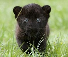 its rare seeing a normal panther but a baby wow!!!