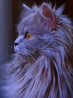 Cats And Kittens Grey gray persian cat cats cute cats kittens Source: website picture animal portrait eye fur young cute Source: websi. Cute Cats And Kittens, I Love Cats, Cool Cats, Beautiful Cats, Animals Beautiful, Cute Animals, Regard Animal, Tier Fotos, Grey Cats