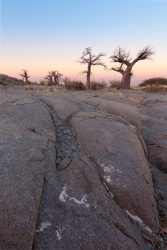 Boabab trees on Kubu Island against a sunset sky, Botswana