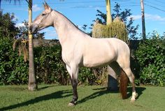The Campolina is a breed of common horses from Brazil that developed mainly for different riding purposes. Pretty Horses, Beautiful Horses, Animals Beautiful, Campolina, Different Horse Breeds, Horse World, Clydesdale, Friesian, Horse Saddles