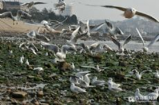 The world of seagulls become Qingdao landscape