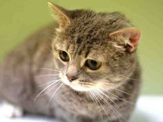 TO BE DESTROYED 12/2/14<br />Manhattan Center<br /><br />My name is GEMINI. My Animal ID # is A1020420.<br />I am a female gray and brn tabby domestic sh mix. The shelter thinks I am about 4 YEARS old.<br /><br />I came in the shelter as a SEIZED on 11/12/2014 from NY 11102, owner surrender reason stated was OWN EVICT.<br /><br />MOST RECENT MEDICAL INFORMATION AND WEIGHT<br />11/30/2014 Exam Type RE-EXAM - Medical Rating is 3 C - MAJOR CONDITIONS , Behavior Rating is AVERAGE, Weight 6.7…