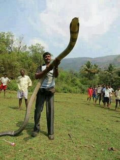 King Cobra Animal Pictures Nature Animals Big Scary Cool Snakes