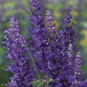 violette mehlsalbei