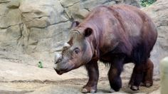 Last Sumatran rhino in U.S. heads to Indonesia on mating mission | CBC | August 26, 2015