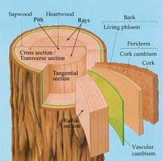 DoITPoMS - TLP Library The structure and mechanical behaviour of wood - The structure of wood (II)