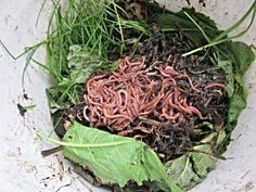 "Learn to Love Worms with Vermicomposting.  An introduction to creating ""black gold"" for your garden with red wiggler worms."