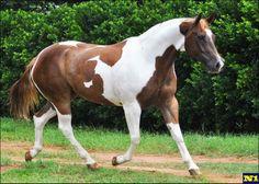 Roma San Chica KB fêmea Paint Horse
