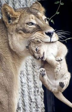 MUM`S TAXI ☀ #photo by Mads Nissen #lion cub cute wildlife wildness animal pet nature