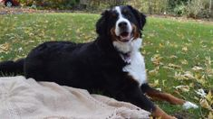Paw & Order: Family's Bernese Mountain Dog Is Prime Suspect in Birdseed ...