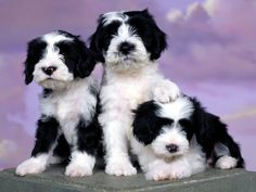 All Small Dogs Wallpaper: Tibetan Terrier Cute Puppy Photos, Puppy Pictures, Puppy Pics, Puppy Images, Tibet Terrier, Cute Puppies, Dogs And Puppies, Cute Kittens, Terrier Puppies