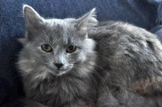 Meet Chanel, a Petfinder adoptable Maine Coon Cat | New Orleans, LA | Please Email MariaEliseThomas@gmail.com with questions about this cat.Chanel is 4 months old,...