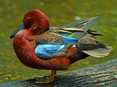 Teal Duck, Duck Duck, Green Wing, Blue Green, Animals Images, Cute Animals, Types Of Ducks, Duck Mount, Duck Pictures