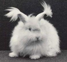 52 best giant angora rabbits images rabbits dwarf rabbit house