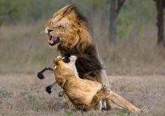 Lion | 50 Amazing Examples of Lion Photography - TutorArt | Graphic Design ...
