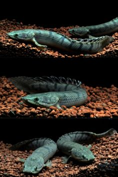 Polypterus weeksii