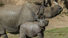 "Baby rhino struts his stuff for the first time at the San Diego Zoo Safari Park - named Parvesh, meaning ""Lord of Celebration"" in Hindi - 9 weeks old in this photo.  His Mom is Alta."