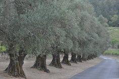 Olive Trees in Napa