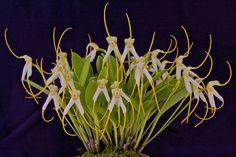 Orchid: Masdevallia boliviensis - Flickr - Photo Sharing!