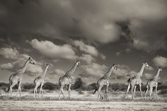 Marvelous Giraffe Photography