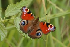 Peacock butterfly  Picture: JIM ASHER