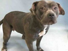 ELBE - A1108265 - - Brooklyn TO BE DESTROYED 04/14/17 **ON PUBLIC LIST** - Click for info & Current Status: http://nycdogs.urgentpodr.org/elbe-a1108265/