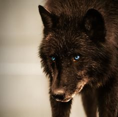 Brown Wolf with Blue Eyes | Similar Galleries: Dark Brown Wolf With Green Eyes , Black Wolf With ...