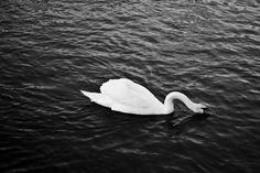 Black and White Swan | Black and white swan by Phillymar