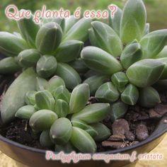 Pachyphytum compactum f. cristata #suculenta #succulent