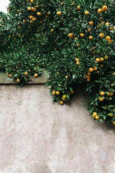 citrus trees hanging over wall / sfgirlbybay