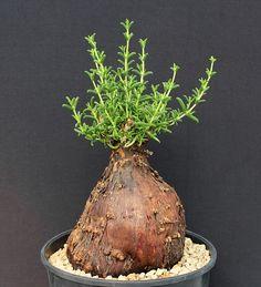Mestoklema arboriforme Family: Mesembryanthemum