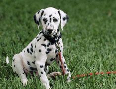 Dictionnaire des chiens : le dalmatien. http://www.femmeactuelle.fr/animaux/chiens-et-chats-de-race/chiens-de-race/le-dalmatien-00417
