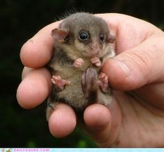 """Dose liddle toze made my brain splort!"" pygmy possom? sugar glider? I donno but I want one in my pocket!"