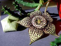 Incredible succulent blossom. Genus name: Stapelia