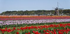 Well I travel a lot, but noooo am not in Netherlands. introducing the Sakura Tulip Festa organised by the Sakura City Municipal Organisation in the Chiba prefecture, near Tokyo. Chiba Japan, Tulips, Netherlands, Tokyo, Tourism, City, Travel, The Nederlands, Turismo