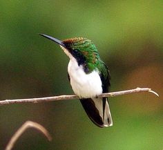 The Black-eared Fairy (Heliothryx auritus) is a species of hummingbird in the Trochilidae family. It is found in tropical forests in South America.