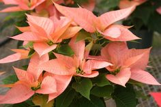 Named for Joel Poinsett, the U.S. minister to Mexico who brought the plants home in 1825, the poinsettia is always decked in holiday colors. Foliage Plants, Marco Polo, Christmas Decorations, Holiday Decor, Salmon Color, Hgtv, Poinsettia, Beautiful Pictures, Planting Flowers