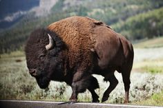 Buffalo Animal, Buffalo Art, American Bison, American Animals, Majestic Animals, Animals Beautiful, Eging Am See, Yellowstone National Park, National Parks